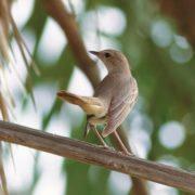 Great nightingale