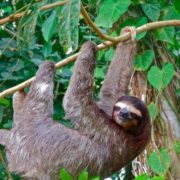 Great sloth