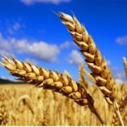 Great wheat
