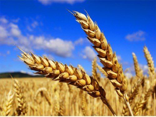 Great wheat