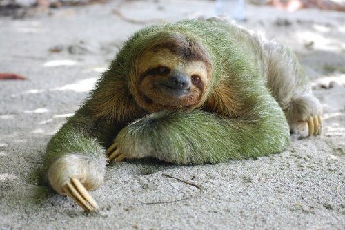 Green sloth