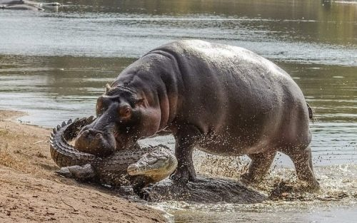 Hippo vs crocodile