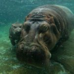 Hippopotamus – King of the River