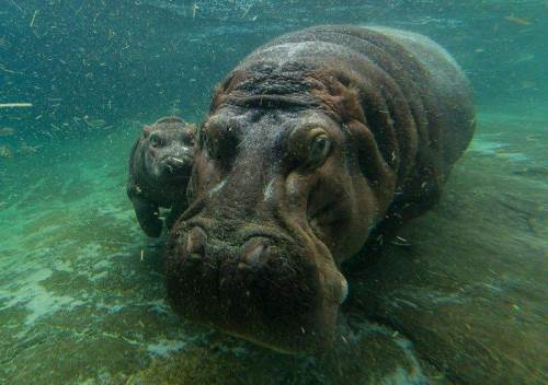 Hippopotamus - King of the River
