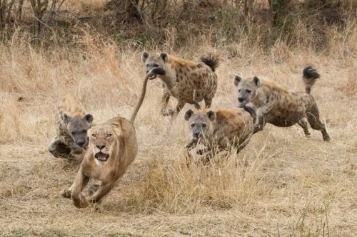 Hyenas are chasing the lion