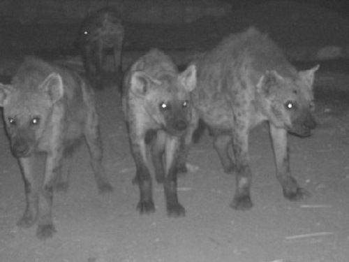 Hyenas at night