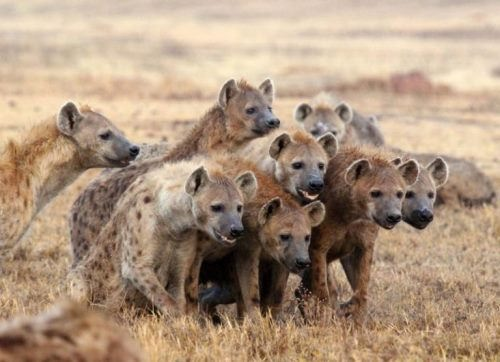 Interesting hyenas. Eve Davidian