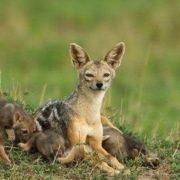 Interesting jackal