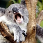 Interesting koala