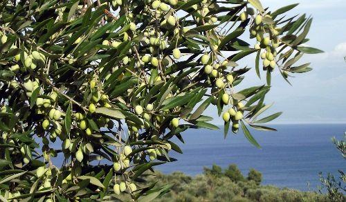 Interesting olive tree