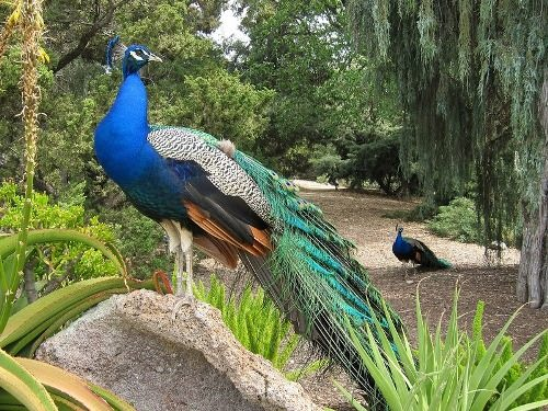 Interesting peacock