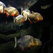 Interesting piranha