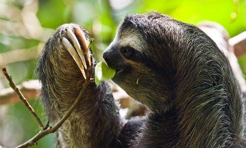 Interesting sloth