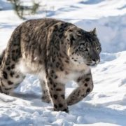 Interesting snow leopard