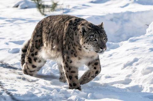 Interesting snow leopard