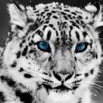 Irbis – Snow leopard