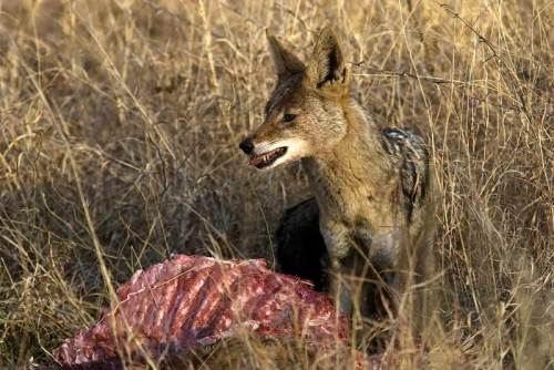 Jackal and its prey