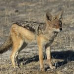 Jackal – golden wolf