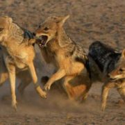 Jackals are fighting