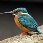 Kingfisher – bright bird