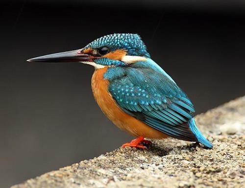 Kingfisher - bright bird