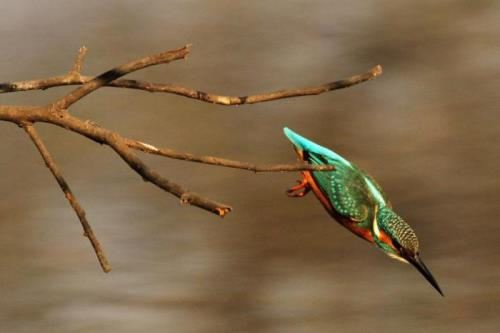 Kingfisher is diving
