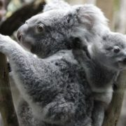 Koala with its baby