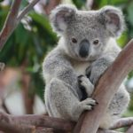 Koalas – Bears That Aren't Really Bears