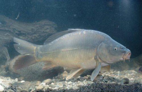 Leather carp
