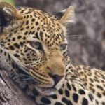 Leopard – wild spotted cat