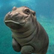Little hippo underwater