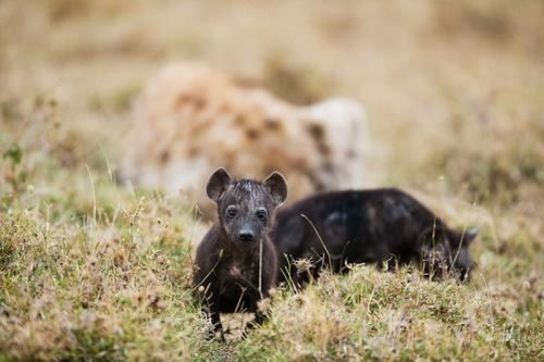 Little hyenas