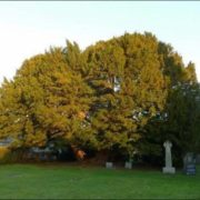 Llangeryw Yew is about 4 -5 thousand years old
