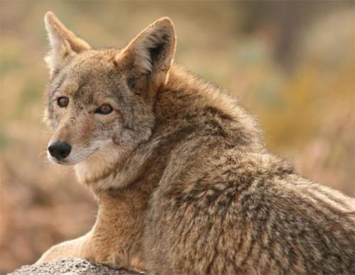 Lovely coyote