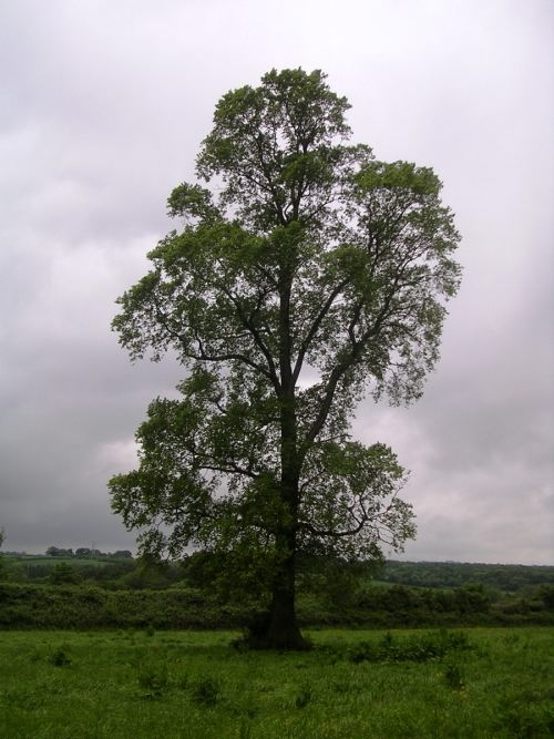 Lovely elm