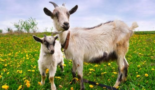 Lovely goats
