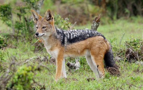 Lovely jackal