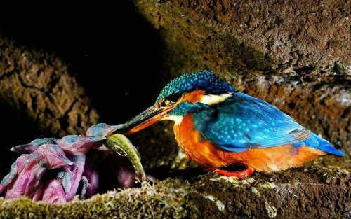 Lovely kingfisher