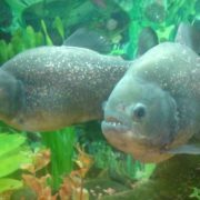 Lovely piranha