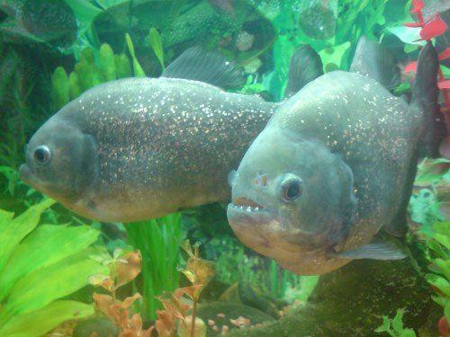 Lovely piranha