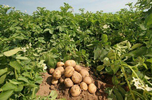 Lovely potatoes