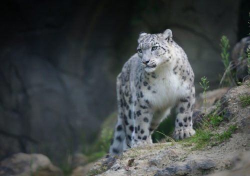 Lovely snow leopard