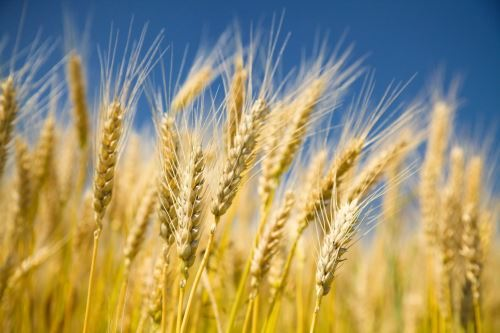 Lovely wheat