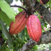 Magnificent cacao pods