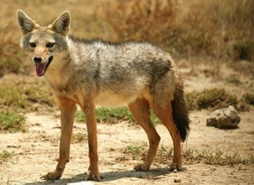 Magnificent jackal