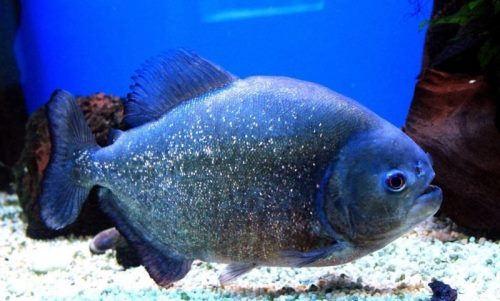 Magnificent piranha