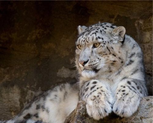Magnificent snow leopard