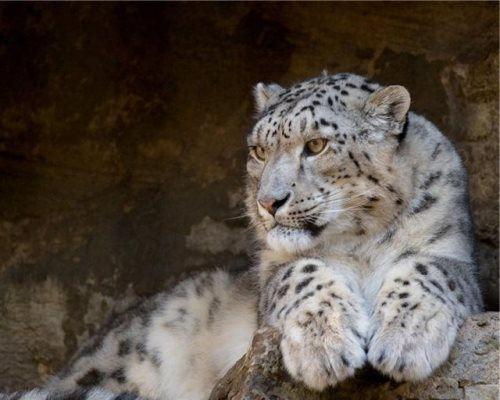 Magnificent snow leopard