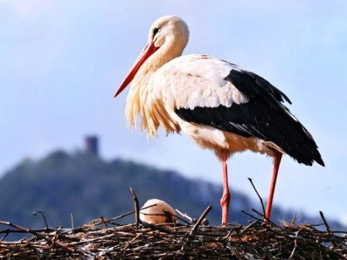 Magnificent stork