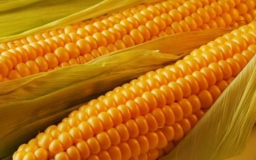 Maize - Queen of the fields